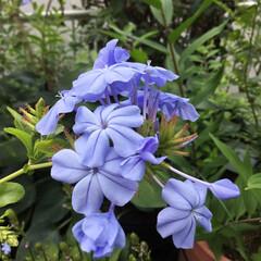 庭の花たち/お花大好き 庭のルリマツリが 咲きました💜