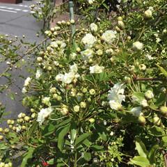 コロナに負けない/花のある暮らし/庭の花たち 庭のモッコウバラが 咲きはじめました♡♡