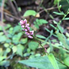 お花大好き/庭の花 庭に咲く イヌタデ