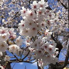 花のある暮らし/お花見/おでかけ/暮らし 近くの小学校と幼稚園の 桜が満開🌸 お天…