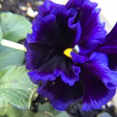 花のあるくらし/庭に咲く花/お花大好き 庭のビオラ フリフリです