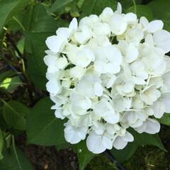 紫陽花/お花大好き/紫陽花園 アナベルではなく 紫陽花の白 お上品です