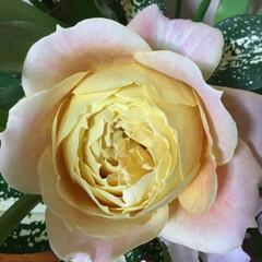 きれいなおはな キャンディーアンティークと言う薔薇 花び…