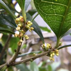 秋の香り/お花大好き/庭に咲く花 庭の金木犀 秋の香りがほのかに 漂い季節…