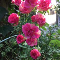 庭の花に咲く花/お花大好き/花のある暮し 庭のミニ薔薇 寒さに 負けず咲いています