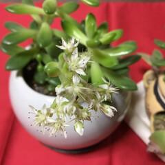 多肉植物 春萌え 小さくて白いお花が咲きましたよ❣…
