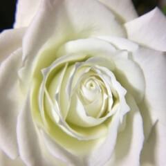 切り花/花のある暮し/お花大好き まわりがほんのりピンクの 白薔薇 キング…