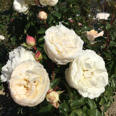 花のある暮らし/お花大好き/おでかけ 万博 バラ園 白薔薇 清楚です(1枚目)