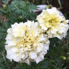 庭の花/お花大好き 庭のマリーゴールド 肥料も効いて咲いて …