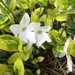 コロナに負けない/庭に咲く花/花のある暮らし 蔓日日草の 白い花が 可愛いね♡