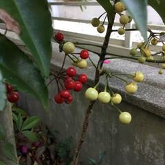 春の花たち/庭の花 紅白 万両 零れ種