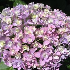 紫陽花/花のある暮らし/庭に咲く花/お花大好き 庭の紫陽花 小さくて可愛い花びら これも…(2枚目)