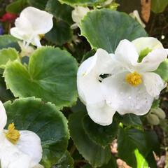 庭の花/お花大好き 庭のベゴニア 真っ白で綺麗です