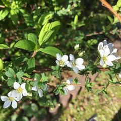 花さがし/花のある暮らし/春の花/庭に咲く花 庭の雪柳が 咲き始めました❣️ 花より新…