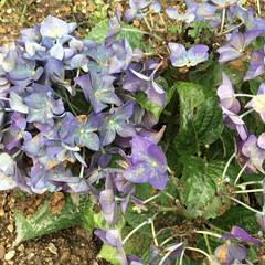 おでかけ/紫陽花/花のある暮らし/お花大好き ダークな紫陽花 これもあり🤔