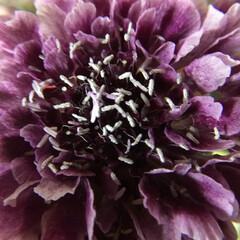 切り花/花のある暮らし/お花大好き 切り花 スカビオサ キング 濃い紫が綺麗…(1枚目)