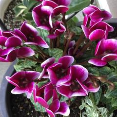 庭に咲く花/お花大好き/花のあるくらし 庭のガーデンシクラメン