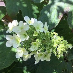 柏葉紫陽花/庭の花たち/花のある暮らし ポツポツ咲いてきました♡♡