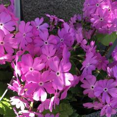 コロナに負けない/庭に咲く花/花のある暮らし ご近所さんの庭に 咲く花 ミヤコワスレ