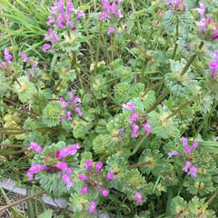 コロナに負けない/おでかけ/花のある暮らし ホトケノザ 近くの公園に 咲いています💜