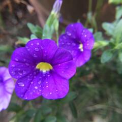 ペチュニア/庭の花達/お花大好き 庭のペチュニア 濃い紫が綺麗です💜