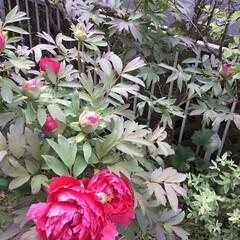 コロナに負けない/牡丹/庭に咲く花/花のある暮らし 庭の牡丹 次々咲きます💖
