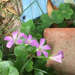庭の花たち/花のある暮らし 雑草 紫カタバミ