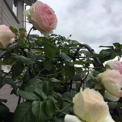 薔薇/庭の花たち/花のある暮らし ピエールロンサール みんなあっちむいてプイ