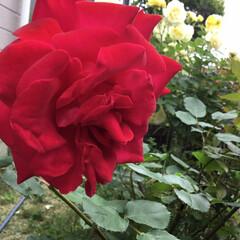 薔薇/庭の花たち/花のある暮らし 庭の赤い薔薇🌹 こちらに向いてくれません