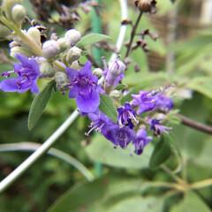 庭の花/お花大好き 庭のセイヨウニンジンボク まだ今しばらく…