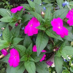 庭の花たち/お花大好き ニューギニアインパチェンス 鮮やかなピン…