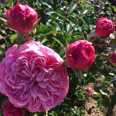 おでかけ/大阪万博/バラ園/花のある暮らし/お花大好き バラ園 巻き巻きです〜♪