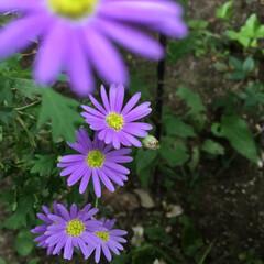 庭の花/お花大好き 庭のブラキカム 小さくなりましたが 元気…