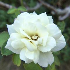 薔薇/庭の花/お花大好き 庭の薔薇 小さくても元気に 咲いています🌹