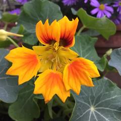 コロナに負けない/庭に咲く花/花のある暮らし 庭に咲く花 ナスタチウム