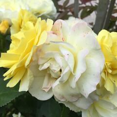 薔薇/庭の花たち/花のある暮らし 黄色から淡い黄色そして チョッピリピンク…