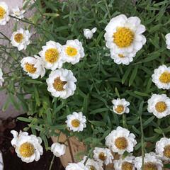 コロナに負けない/花かんざし/庭に咲く花/花のある暮らし/おでかけ ご近所の庭に咲く 花かんざし 咲きながら…