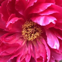 コロナに負けない/牡丹/花のある暮らし/庭に咲く花 鮮やか牡丹 そろそろ終盤