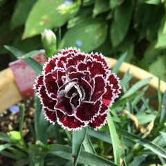 なでしこ/庭に咲く花/お花大好き 庭の香るなでしこ いい香りがします
