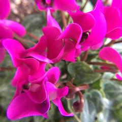花のあるくらし/お花大好き/庭に咲く花 庭のシクラメン