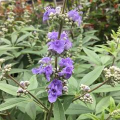 庭の花たち/お花大好き 庭のセイヨウニンジンボクが 咲きましたよ💜
