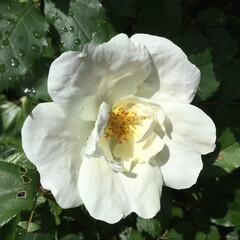 薔薇/庭の花たち/花のある暮らし ひとえの白薔薇 清々しく咲きました💕