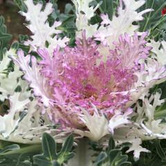 花のあるくらし/お花大好き/庭に咲く花 庭の葉牡丹 綺麗に色づきました