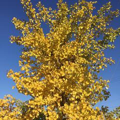 ご近所さん/庭に咲く花/お花大好き 青空に銀杏が映えます