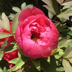 コロナに負けない/花のある暮らし/庭の花たち 牡丹の中に潜り込んで 花粉だらけになって…