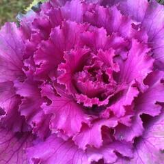 花のあるくらし/お花大好き/庭に咲く花 庭の葉牡丹