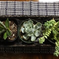 多肉植物/庭の花/お花大好き 多肉植物三種