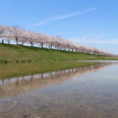 さくら/おでかけワンショット 兵庫県小野市のビックリ逆さ桜です