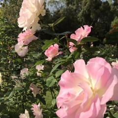 「春咲きより秋咲きの方が 濃いピンク色 に…」(4枚目)