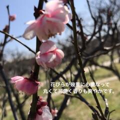 「梅小路公園の梅はこれでラストです。」(2枚目)